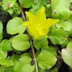 Bontbladige penningkruid - Lysimachia nummularia 'Aurea'