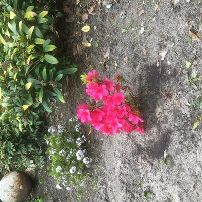 Rhododendron 'Aghadir' -