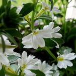 Scaevola MIXMASTERS 'Fancy White' - Scaevola MIXMASTERS 'Fancy White' - Waaierbloem