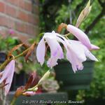 Bletilla striata 'Roseum' - Bletilla striata 'Roseum' - Aardorchidee, Hyacint-orchidee