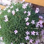 Dianthus subacaulis 'Vera' - Dianthus subacaulis 'Vera' - Anjer