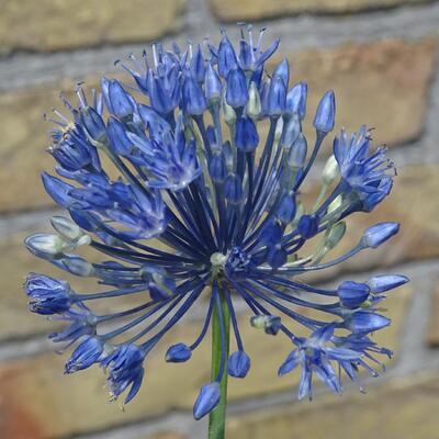 Allium caeruleum -