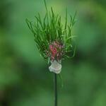 Allium vineale - Allium vineale - Kraailook