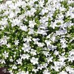 Campanula 'Ambella White' - Campanula 'Ambella White' - klokjesbloem
