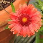 Kokardebloem - Gaillardia x grandiflora 'MESA Red'