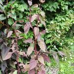 Atriplex hortensis 'Red Flash' - Atriplex hortensis 'Red Flash' - Tuinmelde