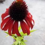 Echinacea purpurea 'Postman' - Rode zonnehoed - Echinacea purpurea 'Postman'