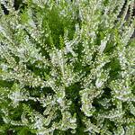 Calluna vulgaris 'Gold Haze' - Calluna vulgaris 'Gold Haze' - Zomerheide / struikheide/ knopbloeiende heide