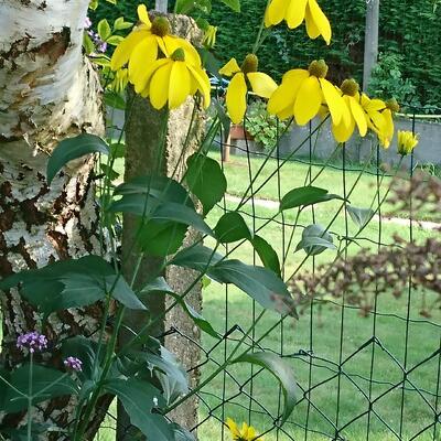Rudbeckia laciniata 'Hortensia' -