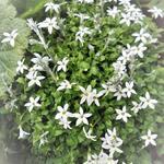 Isotoma fluviatilis 'White' - Sterbloem, tuinlobelia - Isotoma fluviatilis 'White'