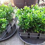 Euonymus japonicus 'Green Spire' - Kardinaalsmuts - Euonymus japonicus 'Green Spire'