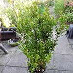 Ilex maximowicziana - Japanse hulst - Ilex maximowicziana