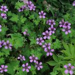 Geranium 'Sue Crug' - Geranium 'Sue Crug' - Ooievaarsbek