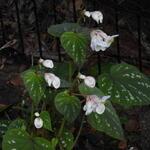 Begonia grandis 'Sparkle and Shine' - Begonia grandis 'Sparkle and Shine' - Winterharde begonia, Scheefblad