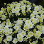 Chrysanthemum 'Bounty Blanc' - Chrysanthemum 'Bounty Blanc' - Herfstchrysant