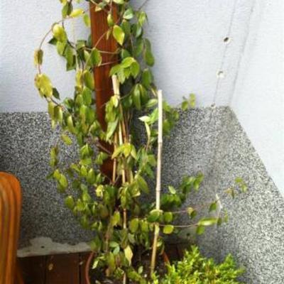 Toscaanse jasmijn bevroren