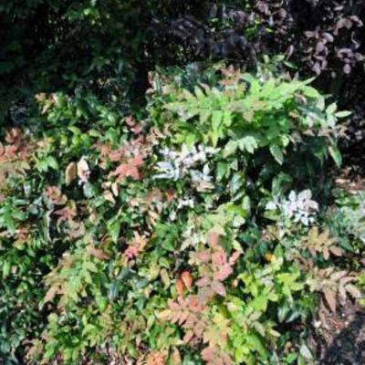 Magnolia met witte bladeren