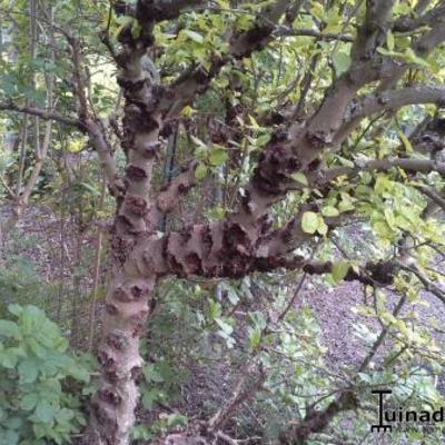 Appelboom met ziekte