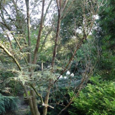 Boerenjasmijn en pruikenboom