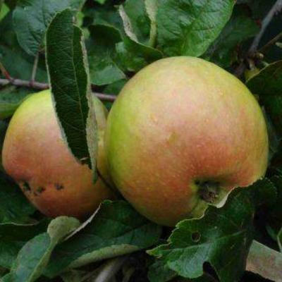 Help keuze appelboom
