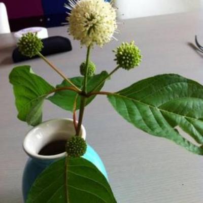 Plant met witte bloempjes