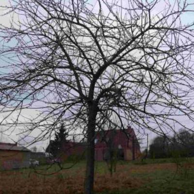 Hoe hoogstammige appelboom het best snoeien