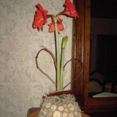 Amaryllis opnieuw laten bloeien