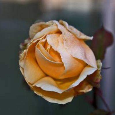 Koude en rozen
