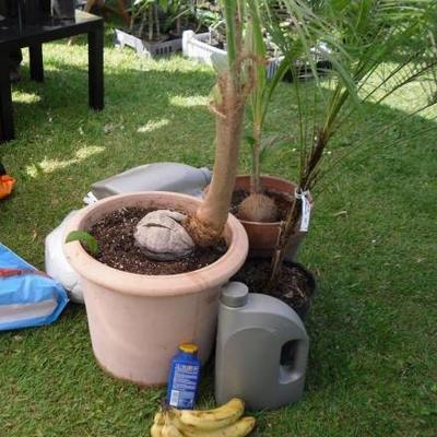 Cocos Nucifera verzorging