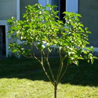 Seringenboompje bloeit niet meer