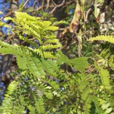 Bomensoort uit Rhodos
