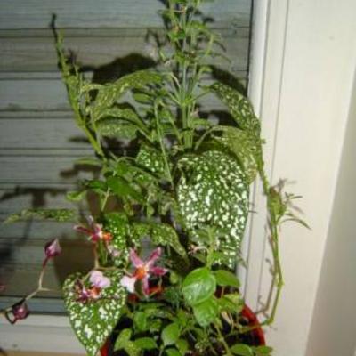 Witspikkelblad-plant met roze bloemetjes