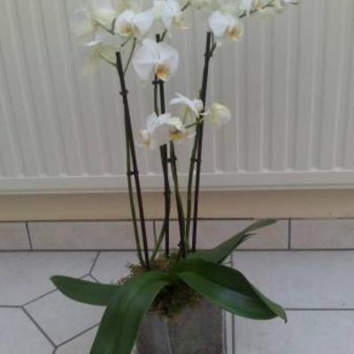Phalaenopsis in een glazen vaaspot.