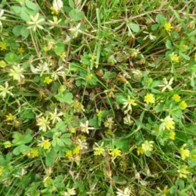 Onkruid  gele bloempjes