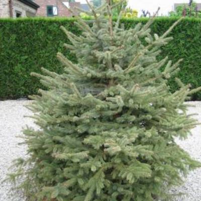 Naaldboom wordt bruin  hulp a.u.b