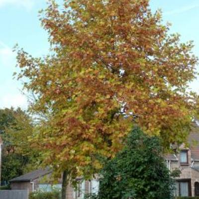 Snelgroeiende bomen