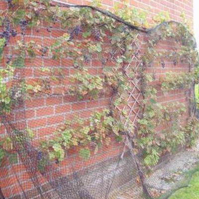 Vitis vinifera Boskoop Glory