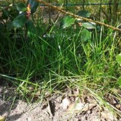 Harnekkige grassen onder haag