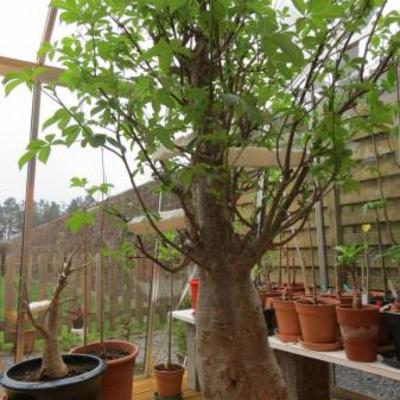Baobab kweken