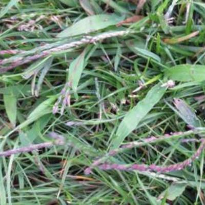 Wild gras in gazon