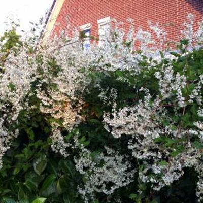 Heg met witte bloempjes welke plant is dit
