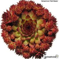 foto van Guy Sempervivum