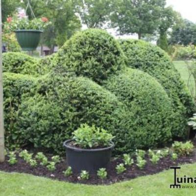 Buxus sempervirens.