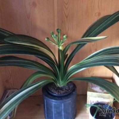 Clivia variegata