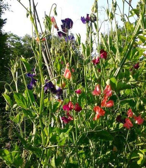 Foto uit de tuin van latifolium - Foto droge tuin ...