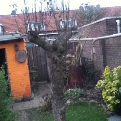 Mijn appelboom verknald of toch niet