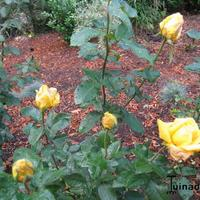 foto van Lady Rose