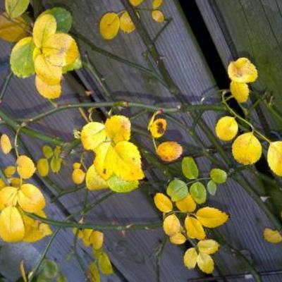 Mijn rozenstruik wordt helemaal geel