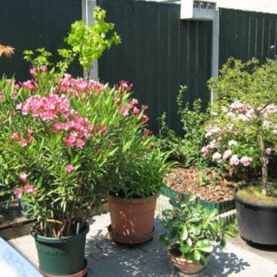 Oleander met heel veel knoppen