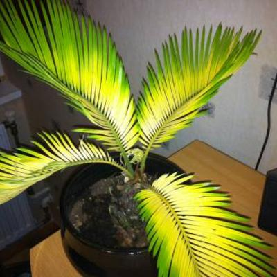 Cycas revoluta bonsai met gele bladeren.